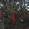 Skeins drying in the junipers after our dye workshop
