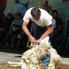 Shearing demonstration - skilled workers and docile sheep!