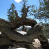Ancient juniper